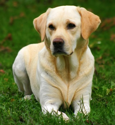 Labrador Retrievier
